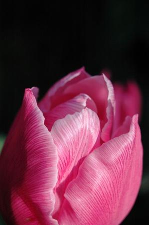Silky Pink Tulip Bud Stok Fotoğraf
