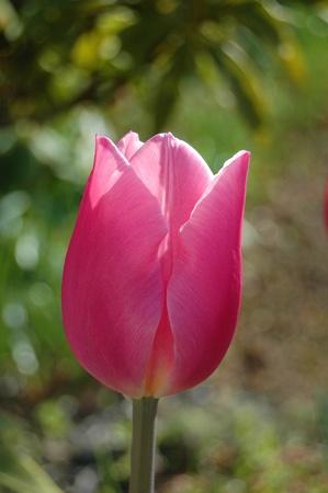 Large Vibrant Pink Tulip