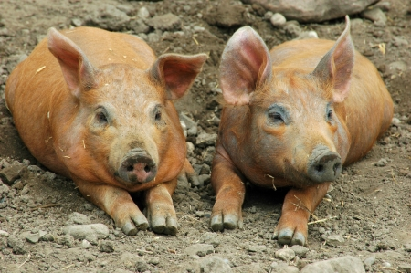 Farm Pig Pair Stok Fotoğraf