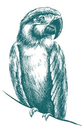talons: Blue parrot vector sketch