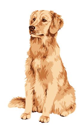 labrador: Golden labrador retriever