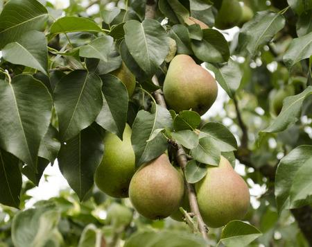 木に甘い梨