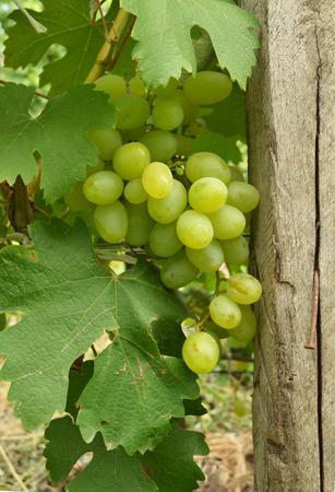 ジューシーな緑色のブドウ 写真素材