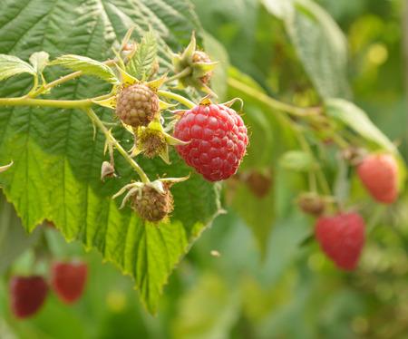 Sweet raspberries on the bush Reklamní fotografie