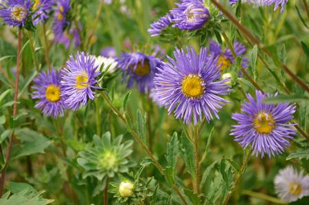 牧草地に紫の花
