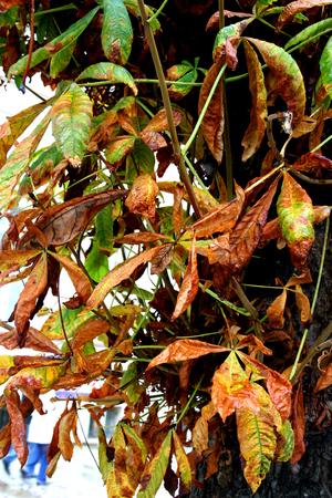 morphing: Wet autumn leaf on tree