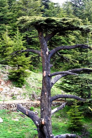 persistent: Cedar forest in Lebanon. The mountains of Lebanon were once shaded by thick cedar forests and the tree is the symbol of the country. After centuries of persistent deforestation, the extent of these forests has been markedly reduced.