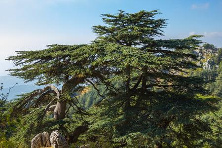 cedar: Las montañas del Líbano una vez que fueron a la sombra de los bosques de cedros de espesor y el árbol es el símbolo del país. Foto de archivo