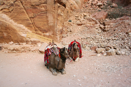 petra  jordan: camels in Petra, Jordan