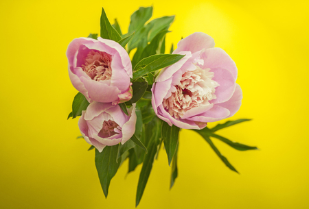 Top view of beautiful peonies on bright yellow background.