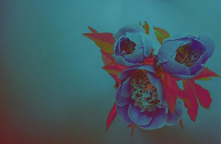 Rosa Pfingstrosen auf blauem Hintergrund.