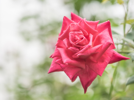 drop water: Closeup of red rose with blurry nature background.