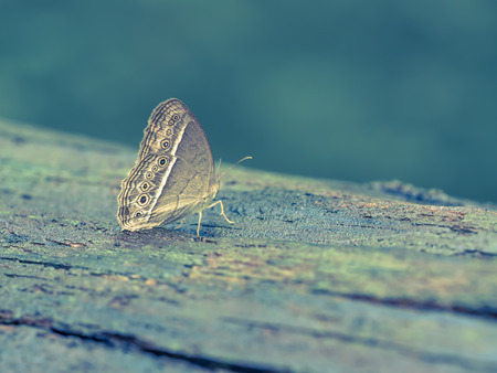 Cross processed tone of brown wings butterfly on wooden floor. Stock Photo