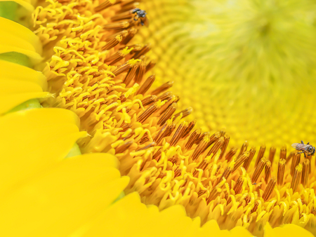 Closeup of sunflower carpel and hoverfly