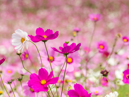 Abstract closeup of cosmos flowers field for nature background