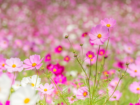Abstract closeup of cosmos flowers field for nature background Imagens - 92593009