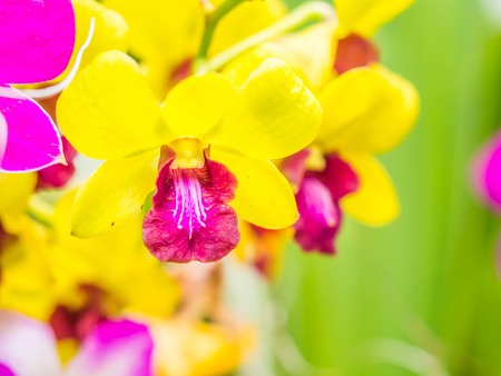 Successful and healthy growth of beautiful vivid yellow orchids in the garden or park. Stock Photo