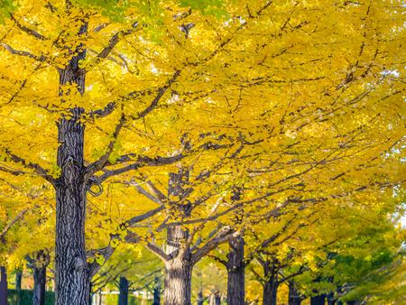 Vivid yellow row pattern of ginkgo tree in the park in autumn season.