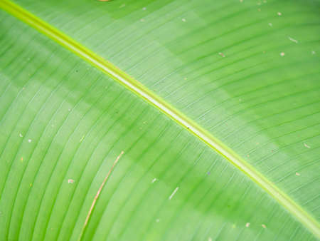 Abstract nature background concept of diagonal striped and line pattern of green banana leaf gradient texture. Imagens
