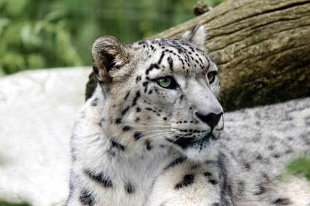 snow leopard lying on a stone in the natural