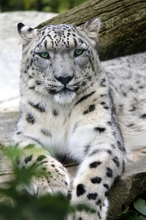 snow leopard: snow leopard lying on a stone in the natural