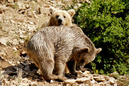 extreme terrain: Brown Bear with her young Stock Photo