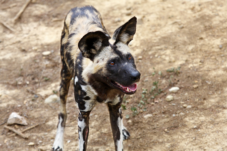 african wild dog: A portrait of a African Wild Dog Stock Photo