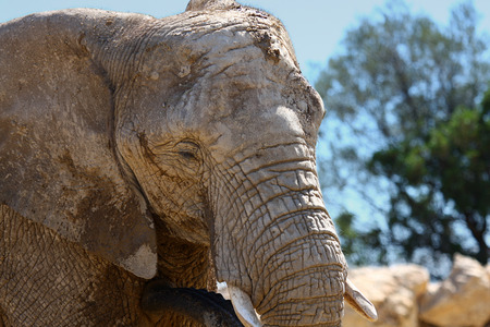 A close up of an elephant with a natural background Stock Photo