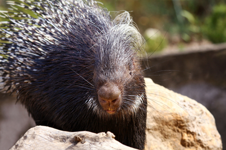 animals feeding: a portrait of a porcupine on a sunny day