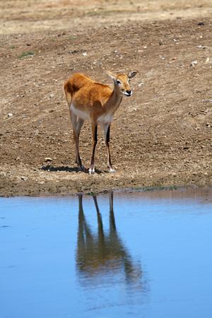 gazelle: a Gazelle stay on the water
