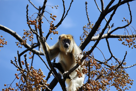 howler: a howler monkey in a tree