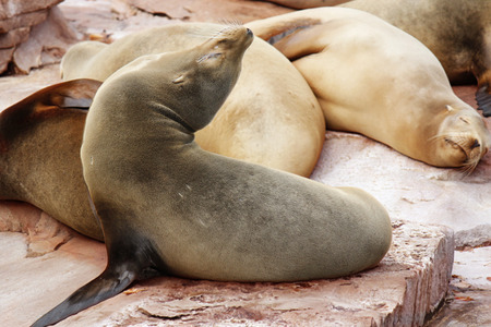 lions rock: sea lions relax on the rock Stock Photo