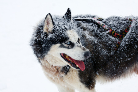 mushing: a portrait of a grey siberian husky