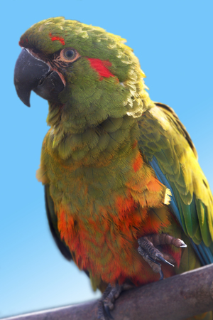 green winged macaw: A portrait of a beautiful green parrot