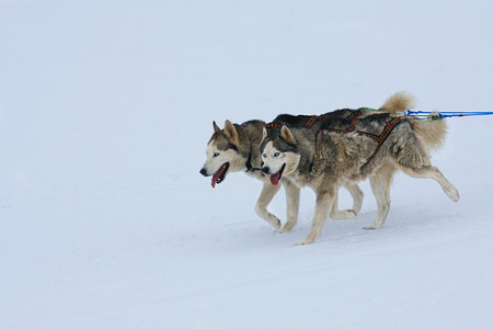 mushing: two of sled dogs running through lonely winter landscape