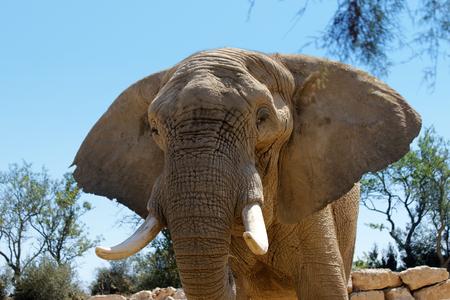lonley: lonley brown elephant in dessert front view Stock Photo
