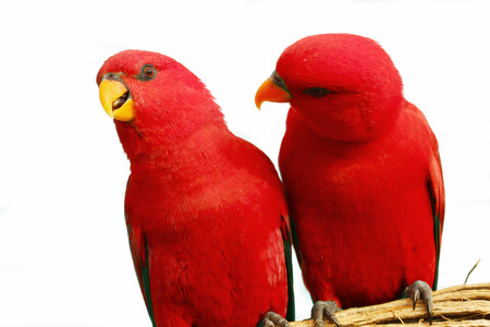 maccaw: Two red parrots sitting together on a branch Stock Photo