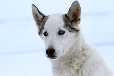 Portrait of a young siberian husky sled dog at snowy winter