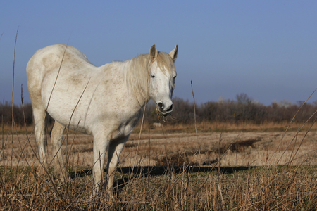 whitehorse: a white horse in the wild nature