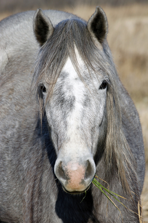 whitehorse: Portrait of a young gray wildhorse Stock Photo