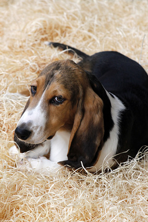 basset: Adorable puppy of basset hound located in the straw