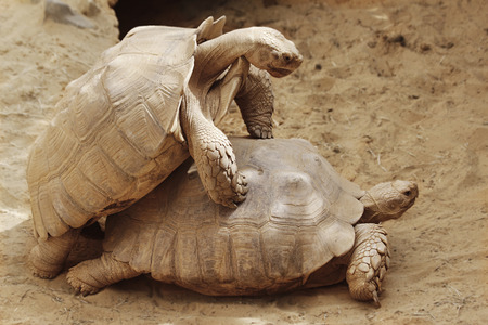tardy: Two large turtles playing in the sand
