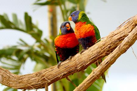 preen: two Rainbow Lorikeet the preen each other