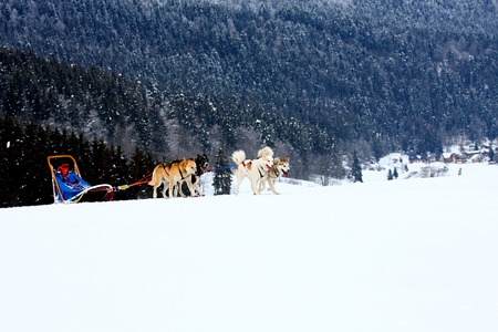 sled dogs: Group of sled dogs running through lonely winter landscape