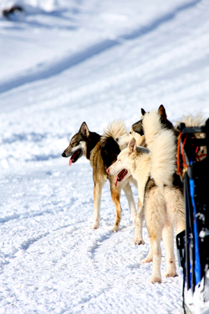 sled dogs: Husky Sled Dogs wait that the race begins