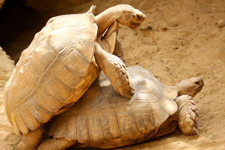 Two large turtles playing in the sand