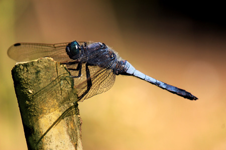 Slaty blue skimmer, LIBELLULA INCESTA. Shallow depth of field.