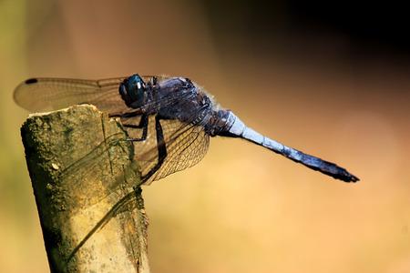 libellula: Slaty blue skimmer, LIBELLULA INCESTA. Shallow depth of field.