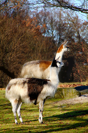 Two Llamas in a Forest in Germany
