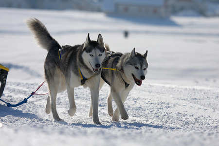 sled dogs: two of sled dogs running through lonely winter landscape